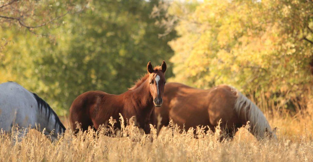 Wagonhound Quarter Horses