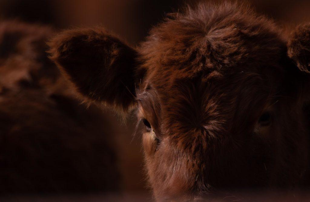 Red Angus Cattle Wagonhound Douglas, Wyoming
