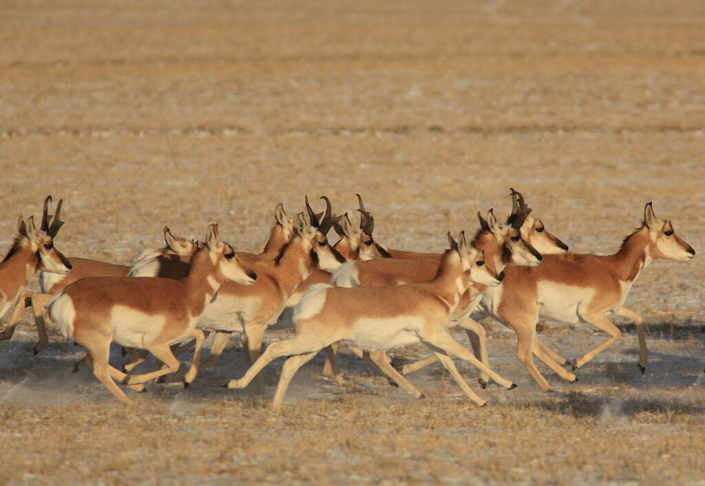 Antelope Herd Running Wagonhound Ranch