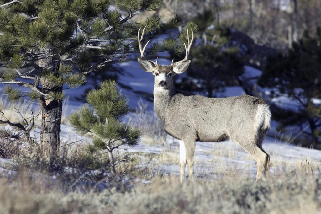 Best Deer Hunts Wyoming