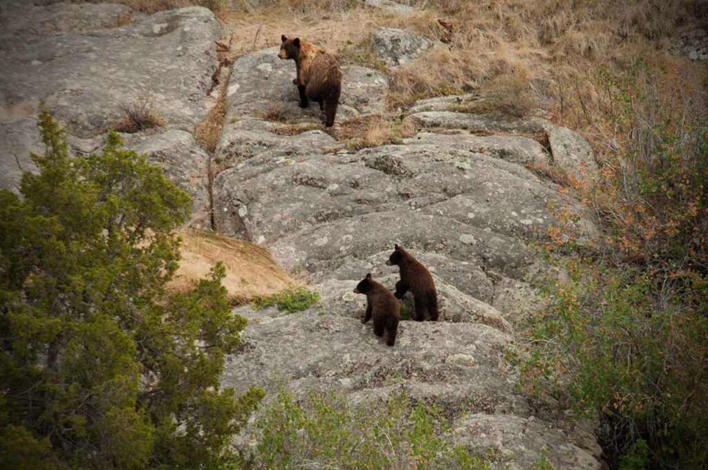 Black Bear Hunts Wyoming