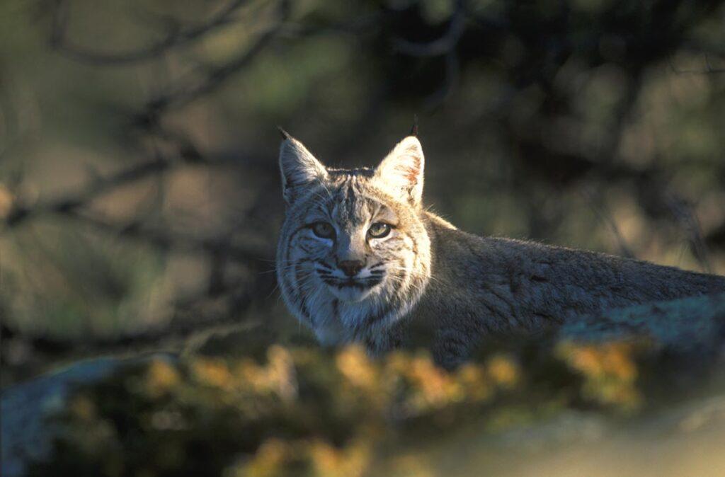 Bobcat Wildlife Wyoming