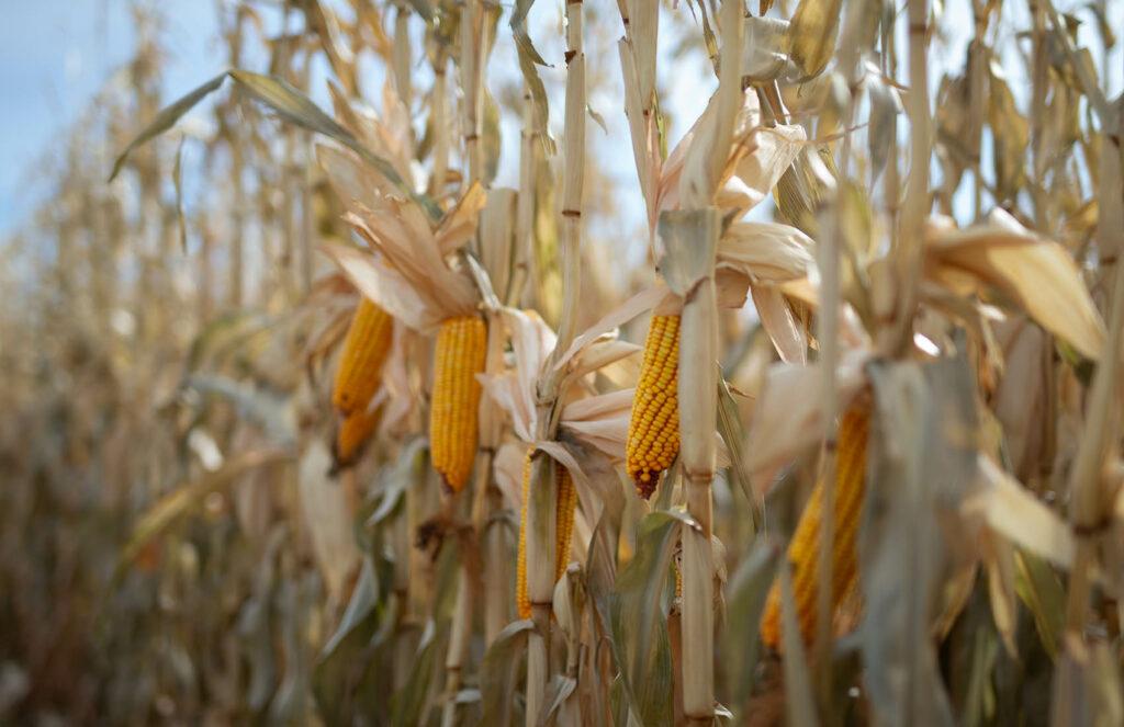 Corn Crop Douglas, Wyoming