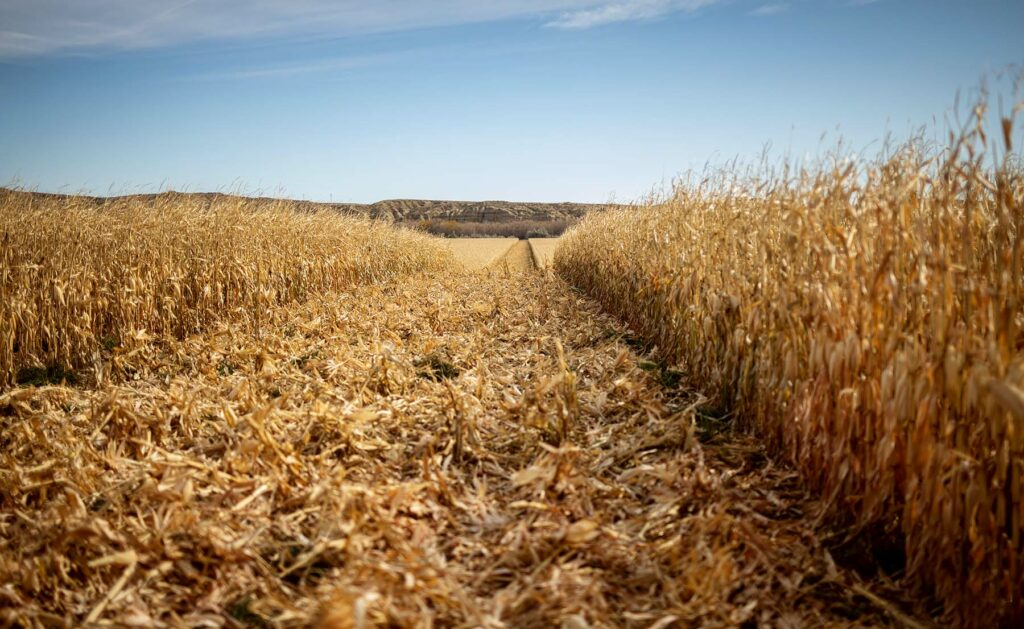 Harvested Corn Wagonhound Ranch