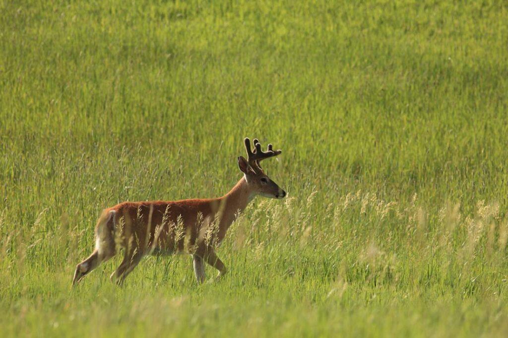 Deer Hunting Wyoming