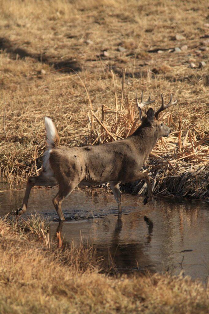 Deer Sighting Wyoming Ranch