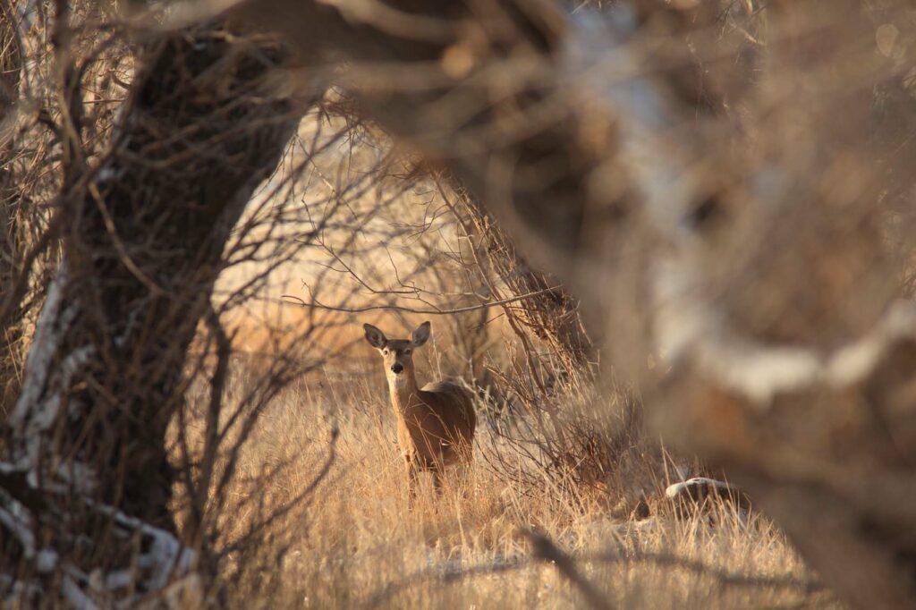 Deer in Wyoming