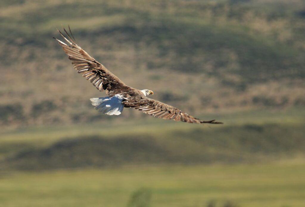 Eagle Sighting