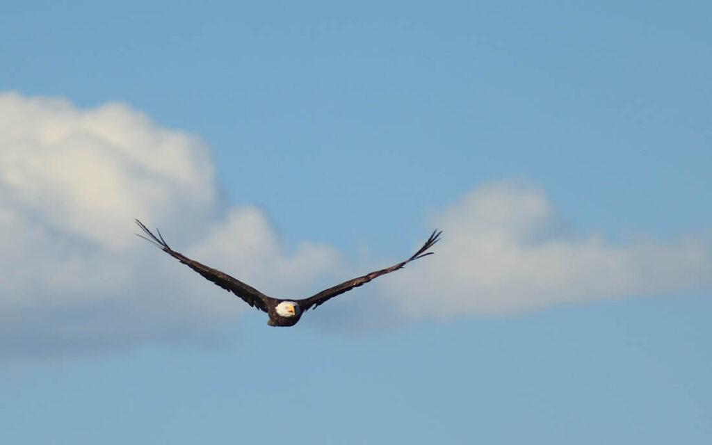 Eagle Soaring Wildlife Douglas, WY