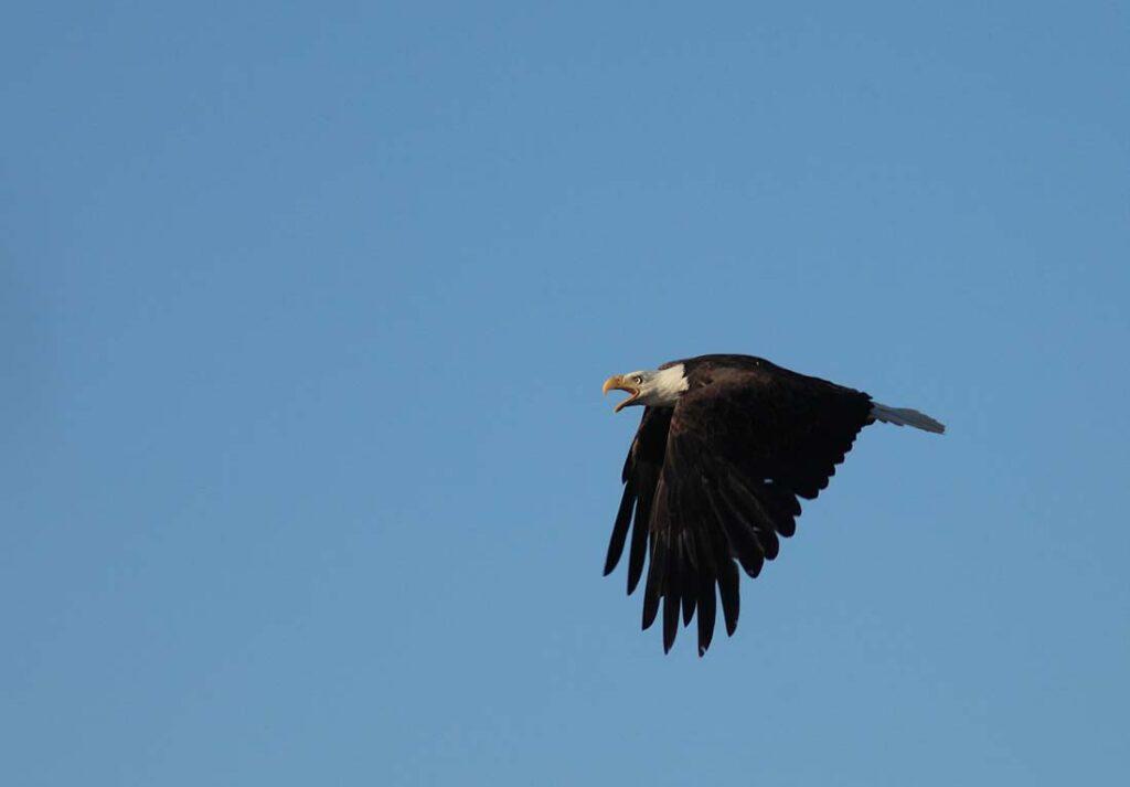 Eagle Spotting Douglas, Wyoming
