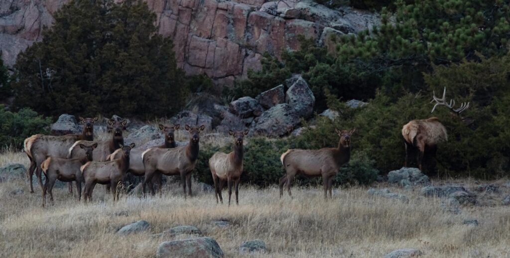 Guided Elk Hunts - Elk Herd