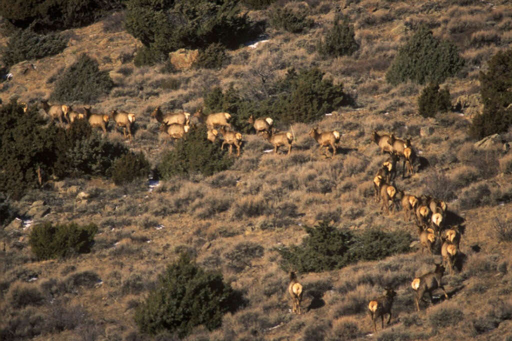 Elk Herd Douglas, Wyoming