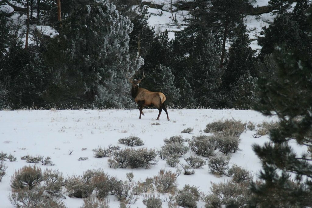 Elk Spotted