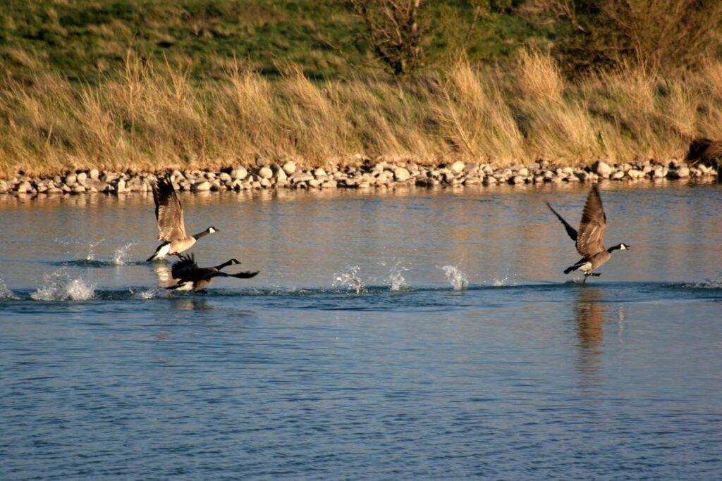Geese Waterfowl Hunting Wyoming
