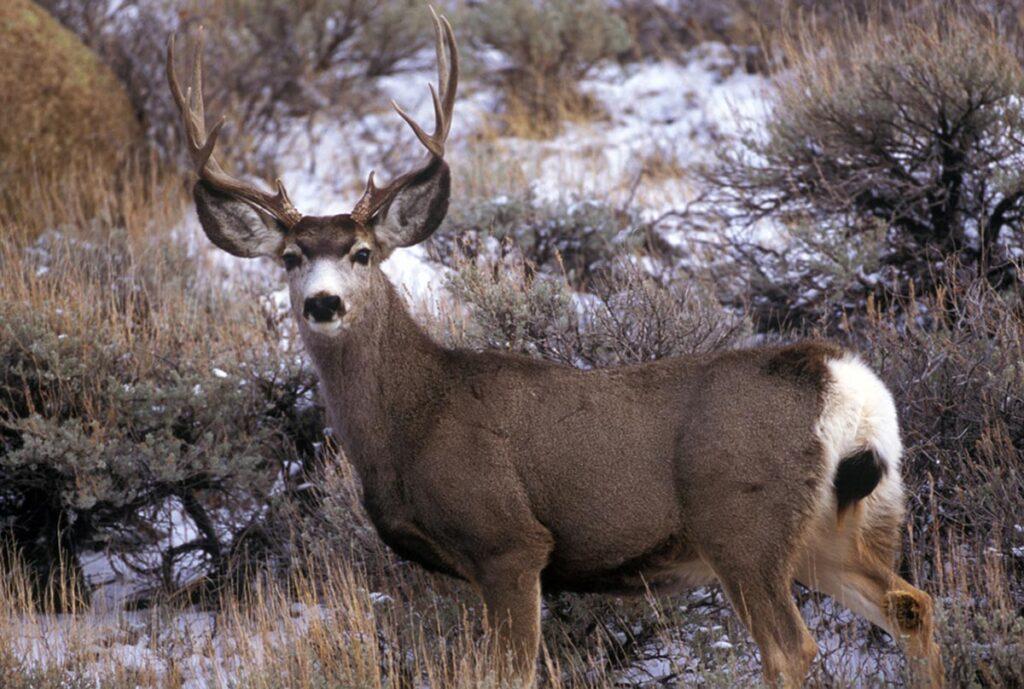 Guided Deer Hunts in Wyoming