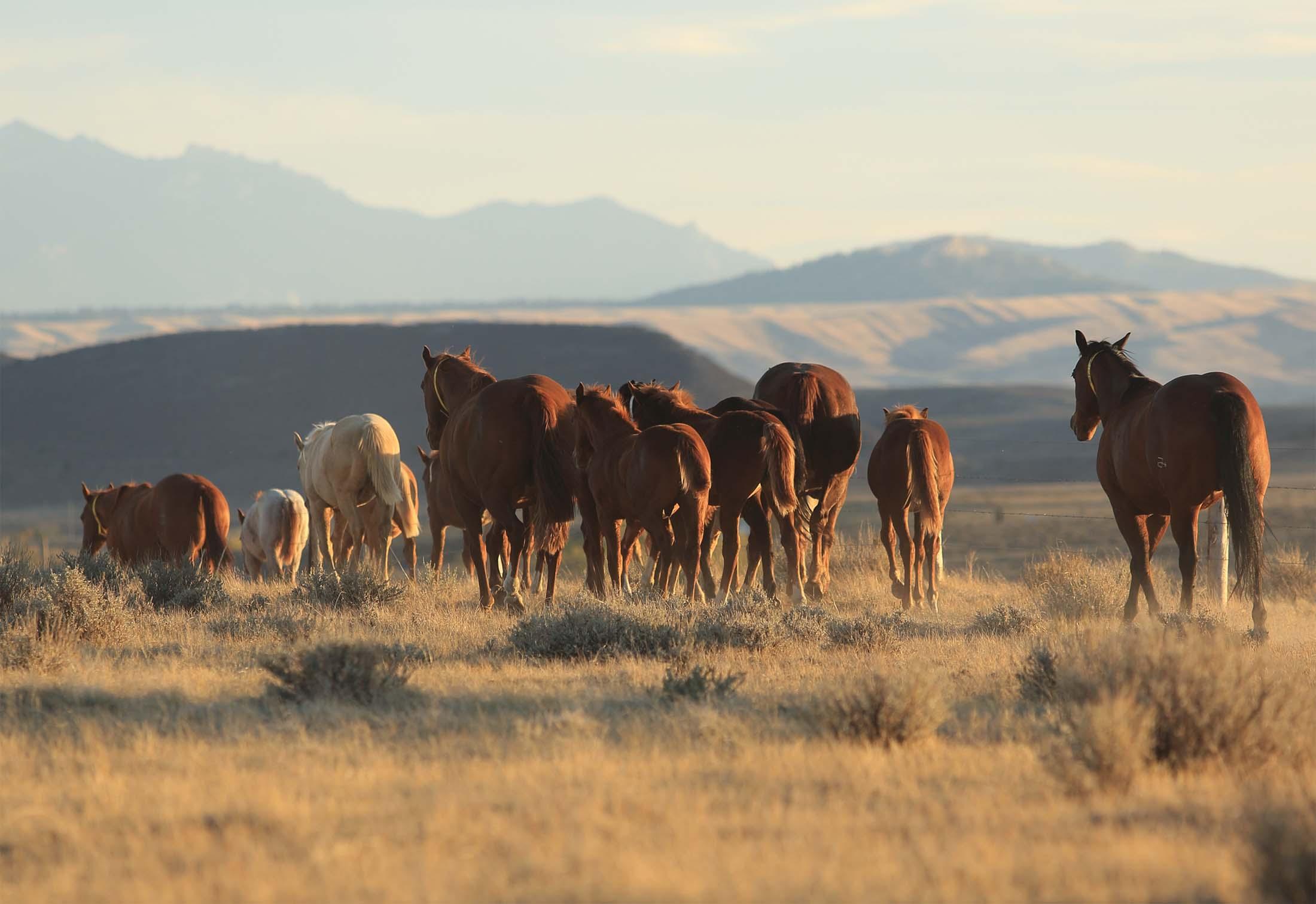 Wagonhound Land and Livestock 2018 Zoetis AQHA Best Remuda Award Winner
