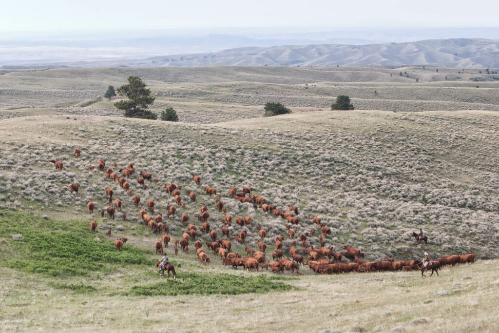 Moving Red Angus Cattle Herd in Wyoming