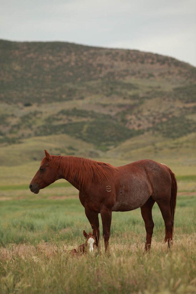 Qaurter Horses Wagonhound