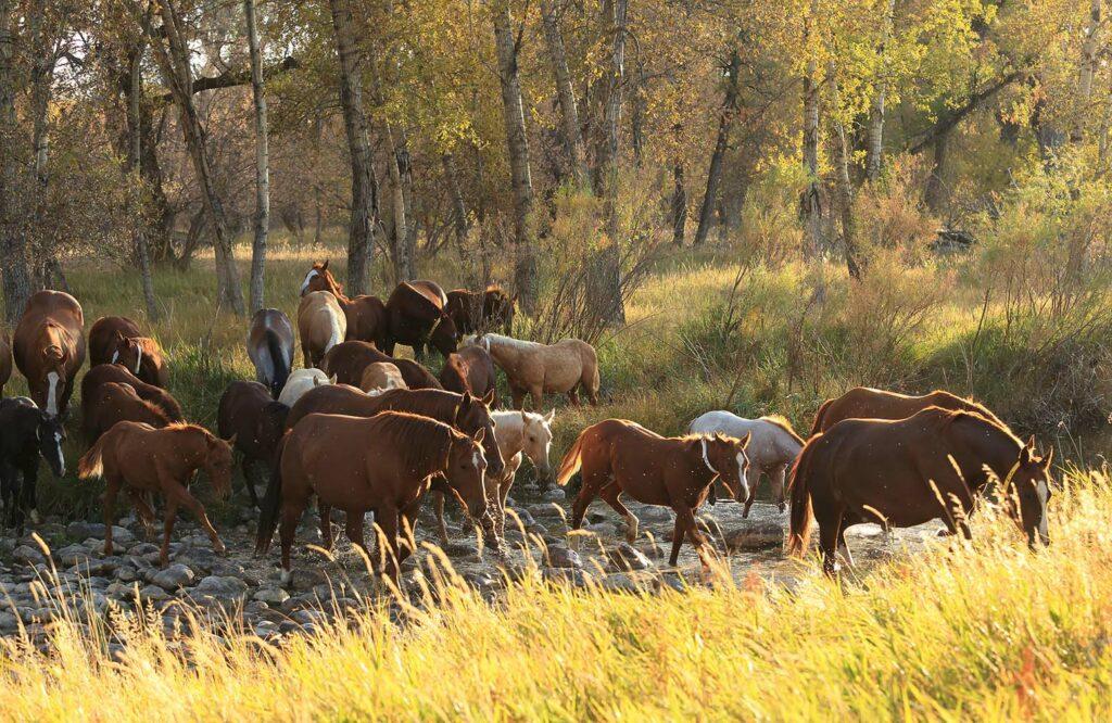 Quarter Horses crossing a stream