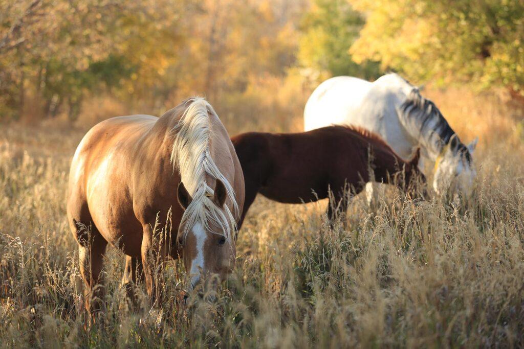Quarter Horses in Picturesque Nature