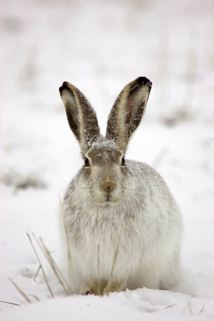 Rabbit Wildlife Wagonhound