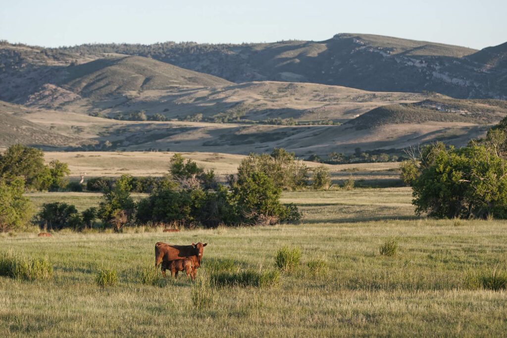 Red Angus Cattle for Sale in WY