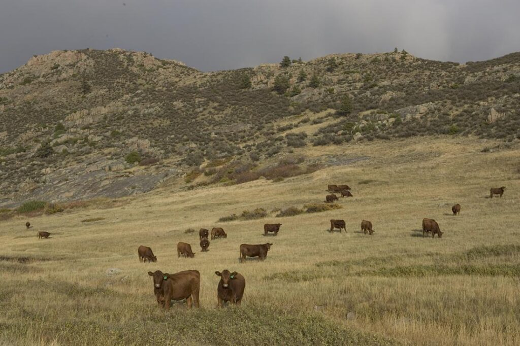 Red Angus Cattle Grazing