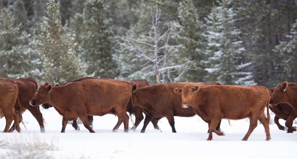Wagonhound Red Angus Cattle