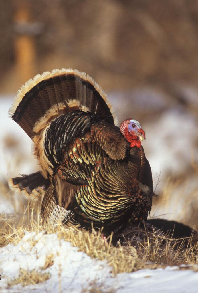 Wild Turkey Wagonhound Ranch