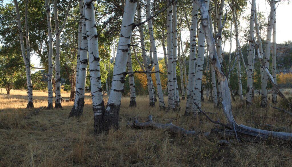 Aspen Trees in Wyoming