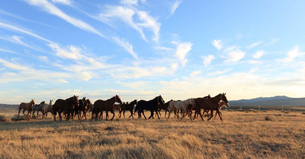 Quarter Horses Wyoming